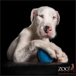 young white great dane wolfhound cross with oversized ball