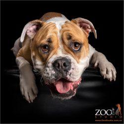 smiling white and tan australian bulldog boy