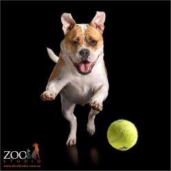 running leap after tennis ball from aussie bulldog