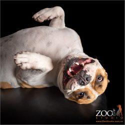 dead cockroach impersonation from male australian bulldog