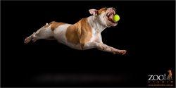 catching the tennis ball in full flight australian bulldog