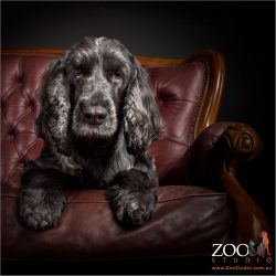princess pose on chair from cocker spaniel