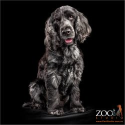 smiling black and grey female cocker spaniel