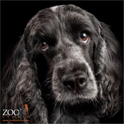 loving look from black female cocker spaniel