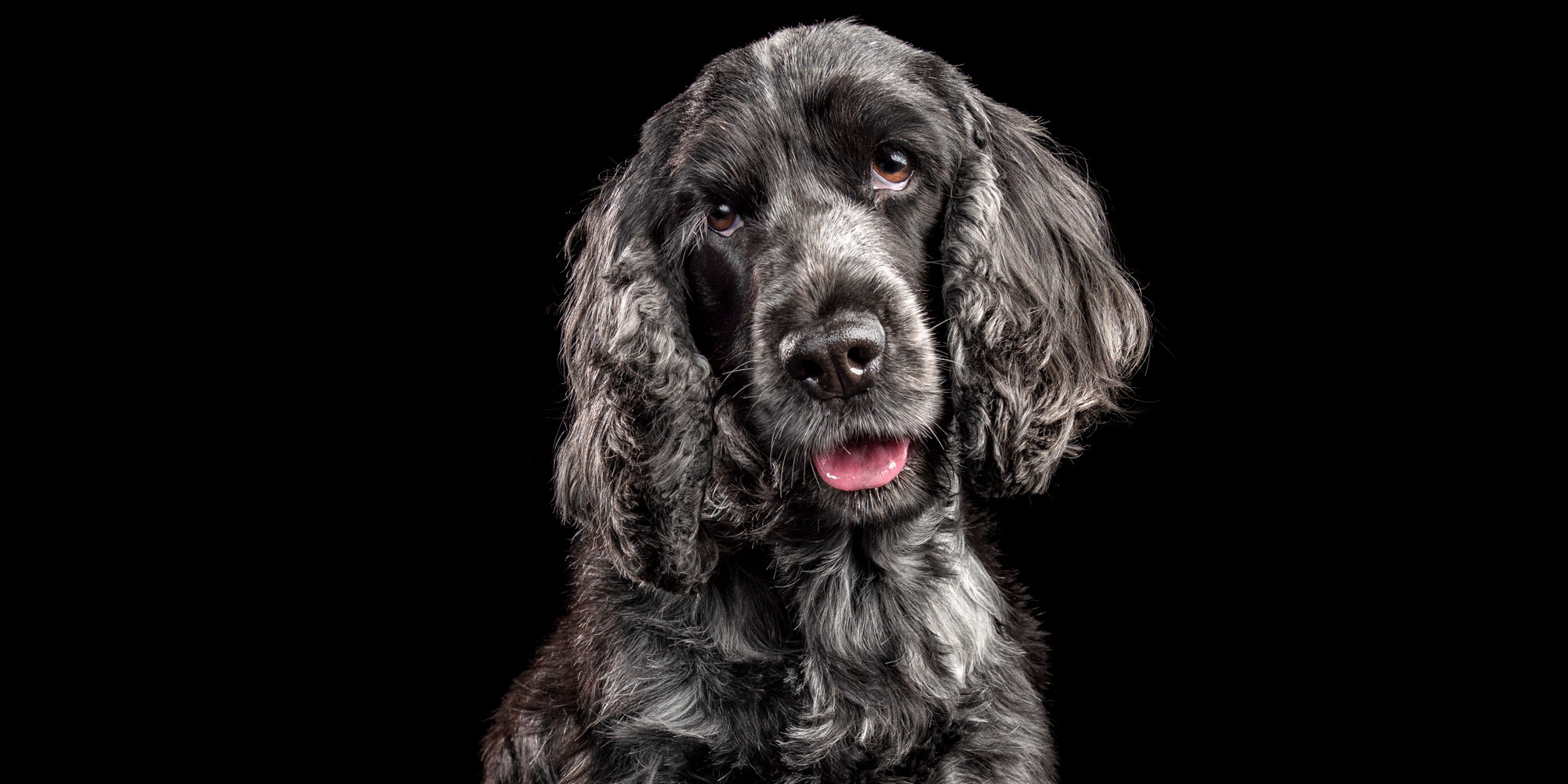 smiling faced black and grey cocker spaniel
