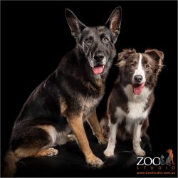 fur-bros german shepherd and border collie