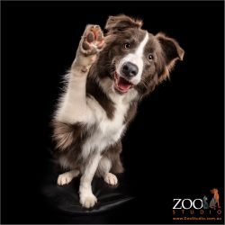 huge high fiving chocolate and white male border collie