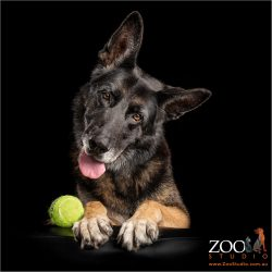 head tilting german shepherd with tennis ball