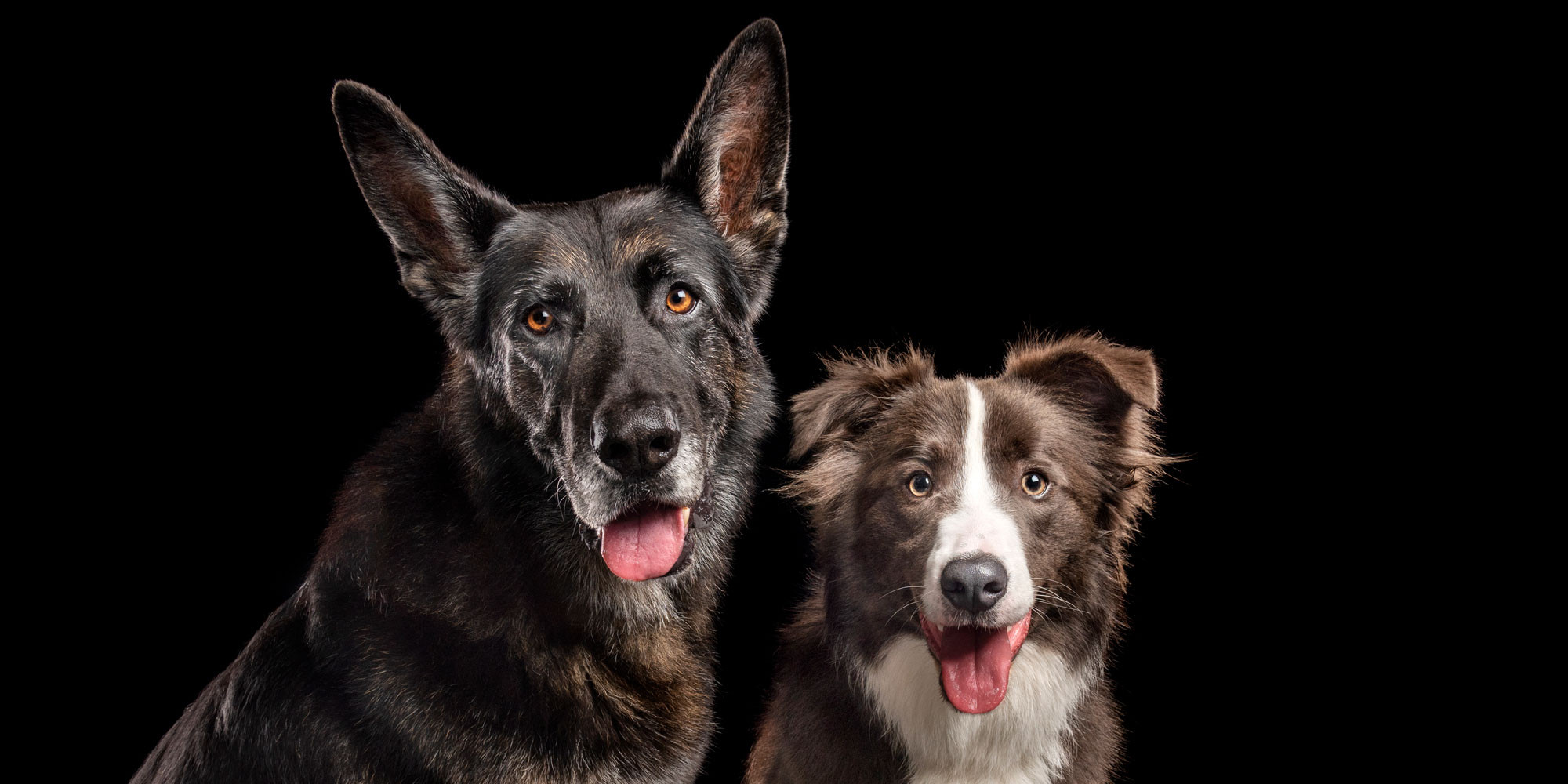 smiliing pair of fur-brothers german shepherd and border collie
