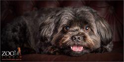 happy smiling female maltese cross dog