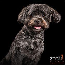 ear flick from female maltese cross dog