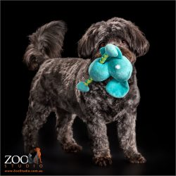 happy wagging tail dark grey maltese cross with blue toy in mouth