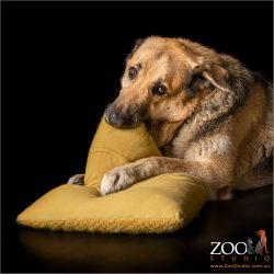 german shepherd boy chewing yellow cushion