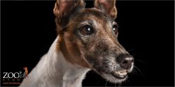 face close up  senior  female fox terrier