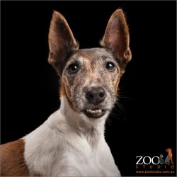white and tan fox terrier girl with underbite