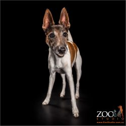 alert ears on female fox terrier