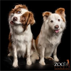 chocolate and white border collie fur silbings sitting close