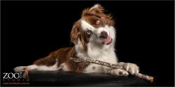 head tilting girl border collie with stick