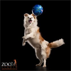 leaping border collie boy  with big blue ball