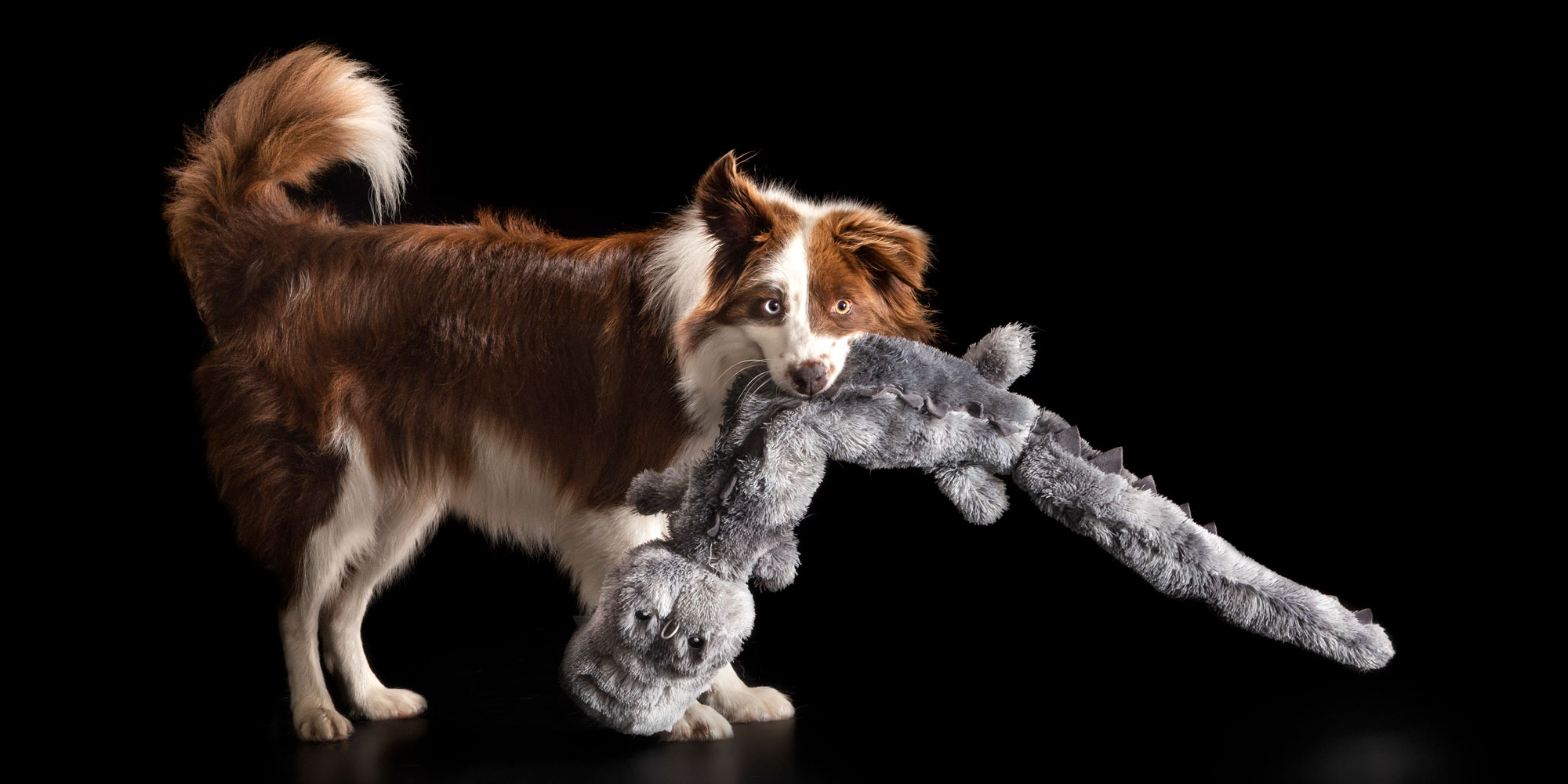 playful border collie girl with large stuffed toy