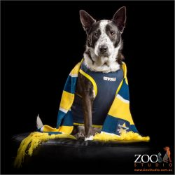 cattle dog cross in cowboys scarf and jacket