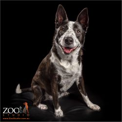 sitting pretty young girl cattle dog cross border collie
