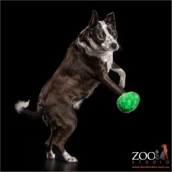 leaping for a green ball border collie collie cross cattle dog