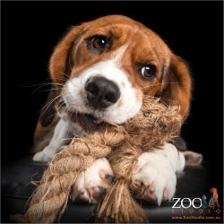 king charles cavalier cross  beagle with mouth full of rope