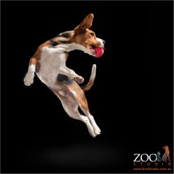 flying in air beagle cross cavalier catching red ball in mouth