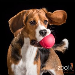 ears flapping beagle cross male catching red ball