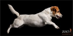 airborne female jack russell