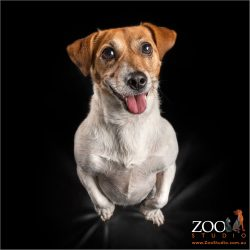 female jack russell sitting on haunches