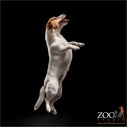 female jack russell begging on hind legs