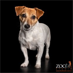 female jack russell standing to attention