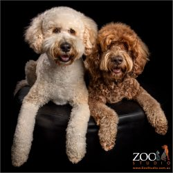 father and son labradoodles cream son and chocolate dad