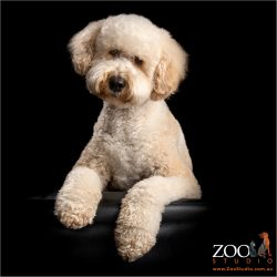 cream male labradoodle sitting pretty