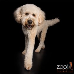 stepping out young male cream labradoodle