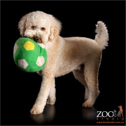 big green ball in mouth of cream labradoodle