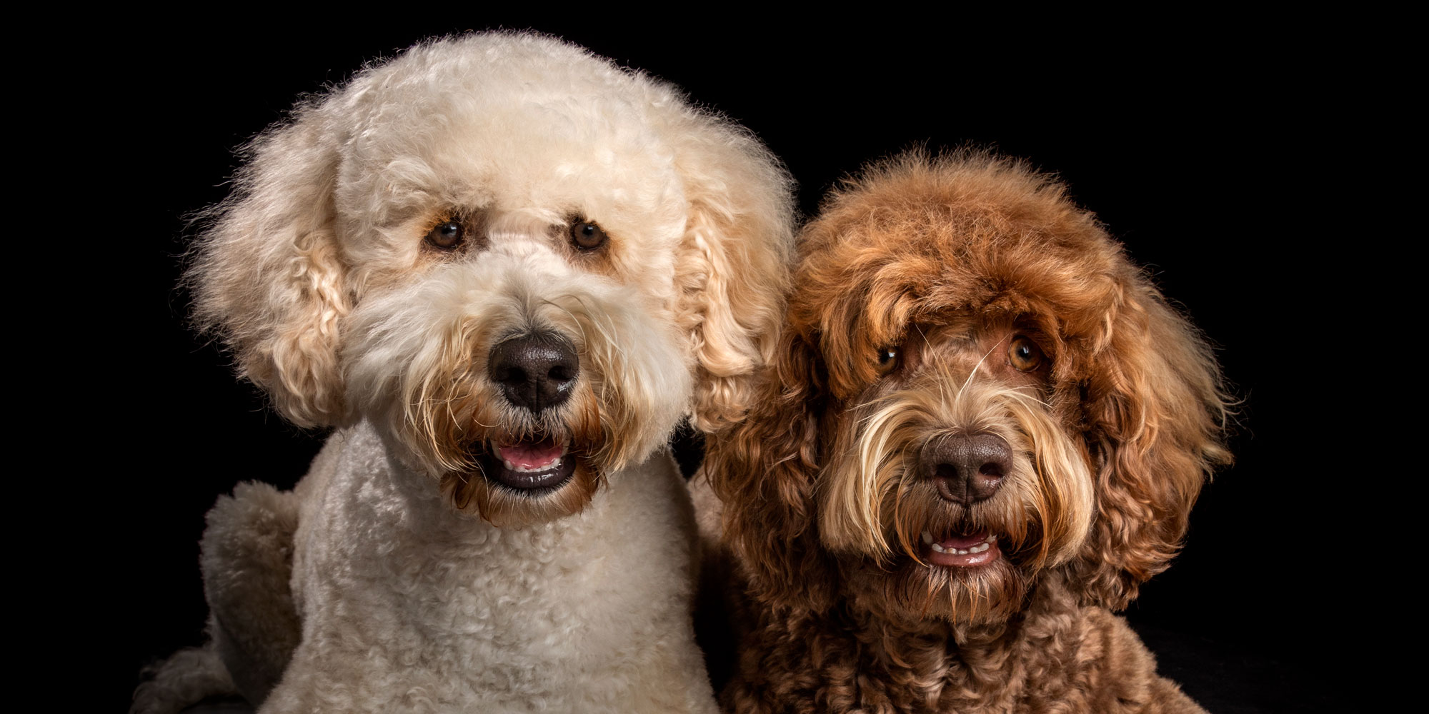 pair of cram and chocolate labradoodles father and son