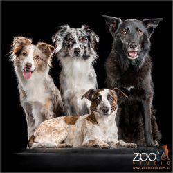 family of four fur-siblings two x australian