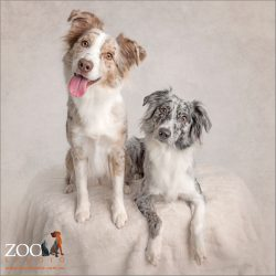 pair of australian shepherds females red merle and blue merle
