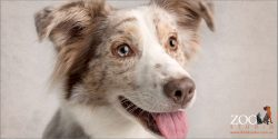 tongue out big smiling face female red merle australian shepherd