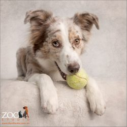 sitting sweetly with tennis ball in mouth female australian shepherd