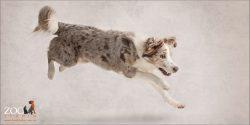big leap from red merle australian shepherd girl