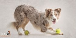pouncing on tennis ball australian shepherd girl red merle