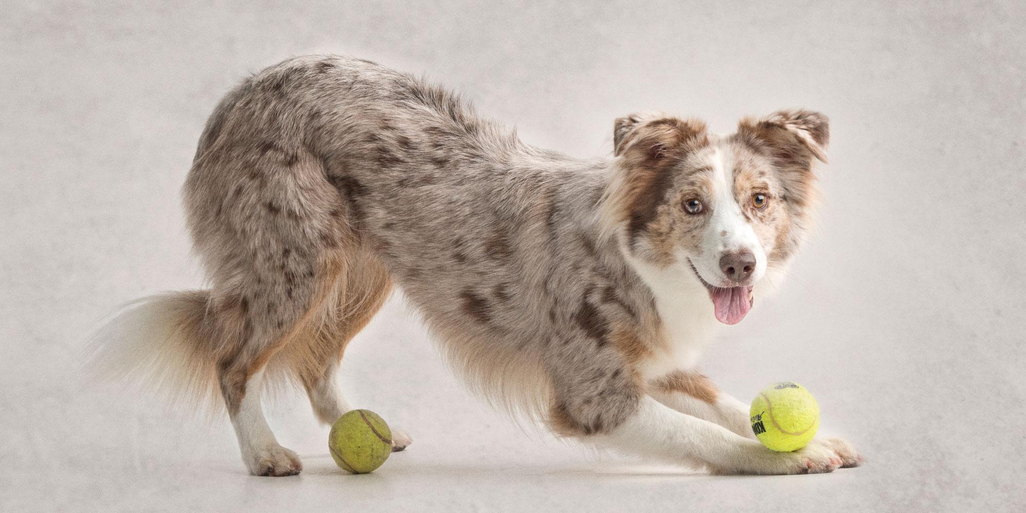 downward dog position pretty red merle australian girl with tennis balls