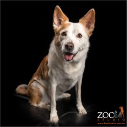 sitting patiently happy faced border collie cattle dog cross female
