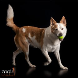border colllie cattle dog cross running with tennis ball in mouth