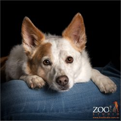 pensive adorable australian cattle dog cross border collie girl