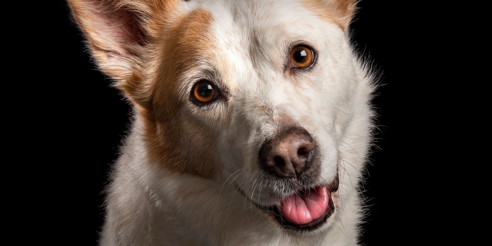 sweet smiling face close up red and white cattle dog cross